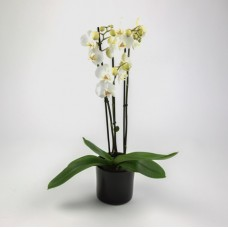 Orchidee wit in pot