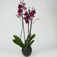 Orchidee paars in pot